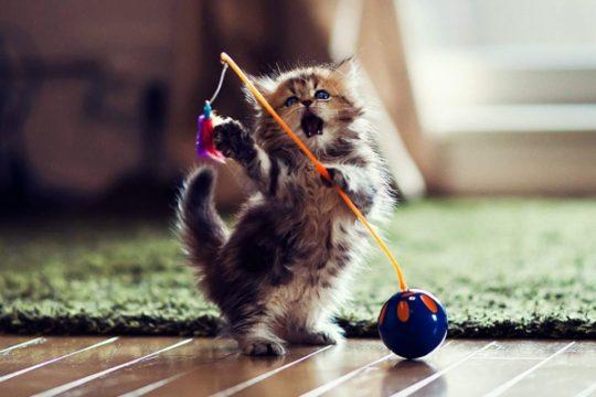 Funny-cat-playing.jpg